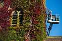 02/010/19<br /> <br /> ***With Video***<br /> <br /> Time for a trim - estate worker, Aiden Linton  gives the virginia creeper its annual trim on the old parish church at Okeover, near Ashbourne, in the Derbyshire Peak District. Cutting later than usual because of the recent wet weather, has helped the colours to be more vibrant than they have for many years. All this year's new growth is pruned to protect the church's stonework and to stop the church disappearing altogether.<br /> <br /> All Rights Reserved: F Stop Press Ltd.  <br /> +44 (0)7765 242650 www.fstoppress.com