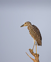 Juvenile Yellow-Crowned Night-Heron perched on dead limb in evening light