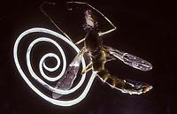 Mermithide, Mermithide, Nematoda, Mermithidae, Wurm tritt aus seinem Wirt aus, Mücke
