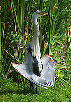 Great blue heron adult cooling off