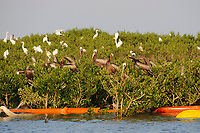 Adult Brown Pelicans (Pelecanus occidentalis) and Great Egrets (Ardea alba) roosting on mangroves in a Barataria Bay nesting colony. This colony was heavily oiled by the BP Deepwater Horizon oil leak.  Plaquemines Parish, Louisiana. July 2010.