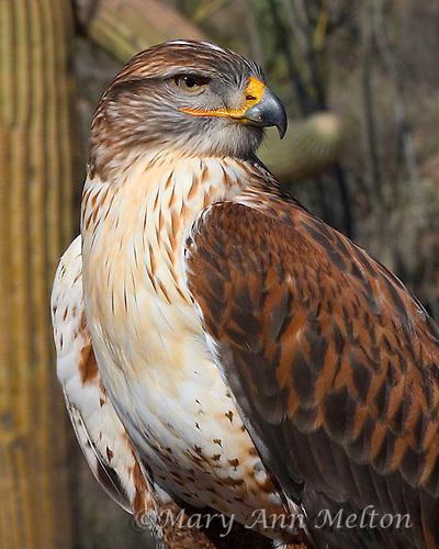 Ferruginous Hawk, Buteo regalis, Arizona Sonoran Desert Museum, captive