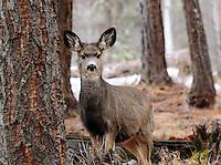 Yearling blacktail aka mule deer in a fir forest in Montana