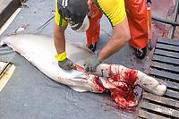 Fishermen scalloped great hammerhead shark, Sphyrna lewini, offshore commercial longline shark fishing, Brazil, Atlantic Ocean
