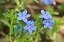 Lithodora diffusa 'Heavenly Blue', mid May.