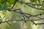 Eastern phoebe perched in a tree in northern Wisconsin.