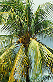 Santarem, Para State, Brazil; coconuts growing on a palm tree.