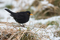 Amsel, Schwarzdrossel, Männchen, Winter, Schnee, Turdus merula, Blackbird, male, Merle noir