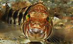 Bank Sea Bass; Centropristis ocyurus