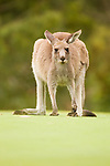 Eastern Grey Kangaroo (Macropus giganteus) sub-adult, Jervis Bay, New South Wales, Australia
