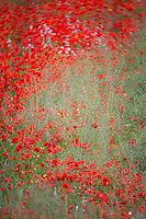 France, Côtes-d'Armor (22), Côte d'Emeraude, Saint-Cast-le-Guildo: Champ fleuri et coquelicots prés de la Pointe du Bay  // France, Cotes d'Armor, Cote d'Emeraude (Emerald Coast), Saint Cast le Guildo, Flowery field and poppies near Point of Bay