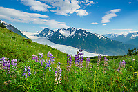 Purple blossoming wildflowers and Spencer glacier in the Chugach National Forest, Kenai Peninsula, Alaska.