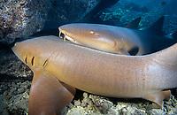nurse sharks, Ginglymostoma cirratum, Turks and Caicos, Caribbean Sea, Atlantic Ocean