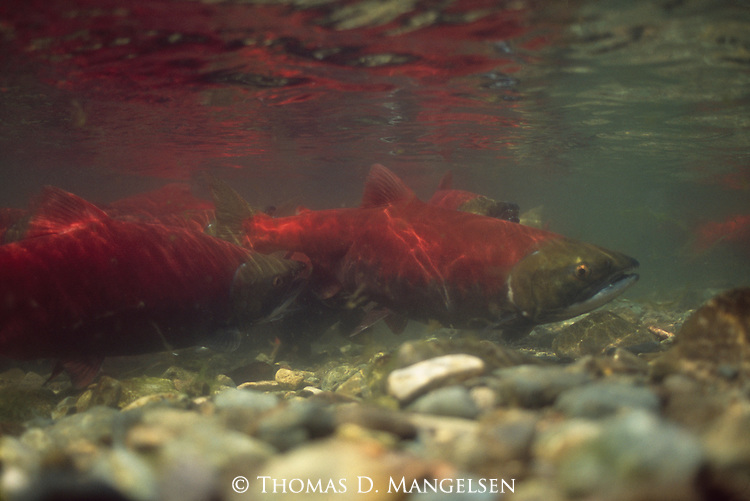 In a rarely seen view of the annual salmon spawn, a river full of sockeye go about their business of churning up the stream bed so the females can lay their eggs in a clean gravel bowl devoid of silt and sediment that would otherwise suffocate their eggs in Funnel Creek on the Alaska Peninsula.