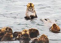 """Bob""  Sea Otter Adventure  Sitka Sound, Alaska | Sea otters lounge in Sitka Sound near Sitka, Alaska at noon on 9/2/11 | Signature Edition Print by Greg Dixon | Digital Photograph"