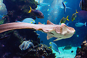 Stegostoma fasciatum - Requin léopard
