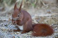Eichhörnchen neu