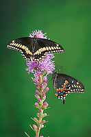 Eastern Black Swallowtail Butterflies (Papilio polyxenes asterius).  Male sits above female on Blazing Star/Gayfeather (Liatris spicata 'Kobold') in backyard garden. Summer. Nova Scotia, Canada.