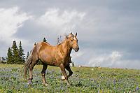 Wild Horse or feral horse (Equus ferus caballus).  Western U.S., summer.  One of the main herd stallions.