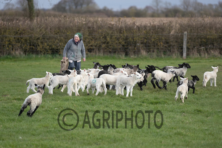 25-3--2021 Shepherdess checking on ewes and lambs <br /> ©Tim Scrivener Photographer 07850 303986<br />      ....Covering Agriculture In The UK....