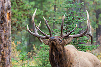 Rocky Mountain bull elk (Cervus elaphus) being aggressive.  Northern Rockies.  Fall.
