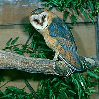 Schleiereule, Schleier-Eule, Tyto alba, barn owl, common barn owl, L'Effraie des clochers, chouette effraie, dame blanche