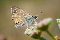 Mallow Skipper (Carcharodus alceae) butterfly
