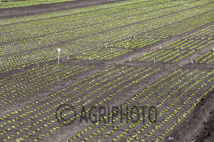 Lettuce growing in the Cambridgeshire Fens<br /> Picture Tim Scrivener 07850 303986