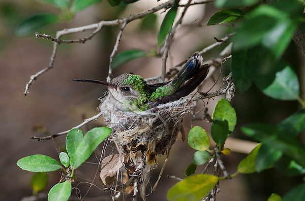 Broad-billed Hummingbird (Cynanthus latirostris) female incubating eggs in nest.  Southern Arizona.  Feb-March.