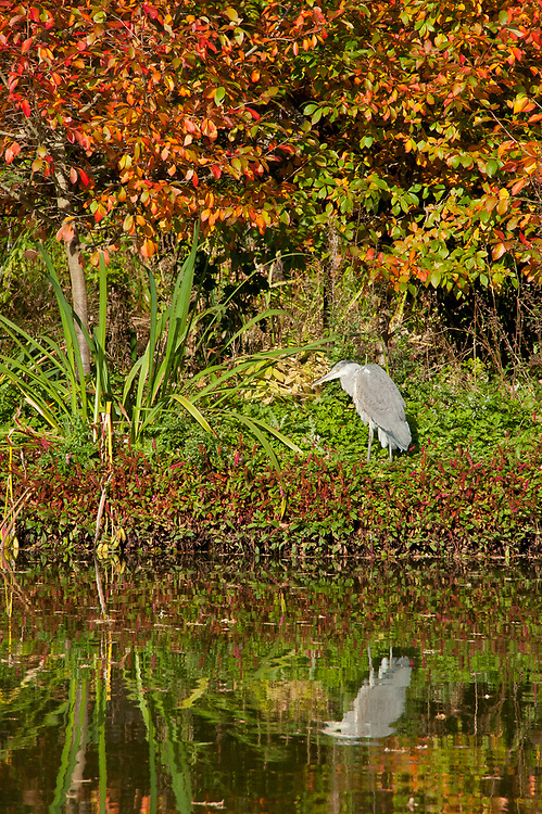 Heron fishing by the side of a lake, late October.