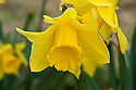 Daffodil (Narcissus 'Cornish Vanguard'), a Division 2 Large-cupped variety, mid February.