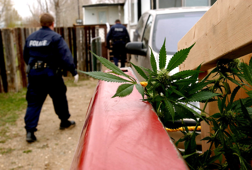 Moose Jaw police use a truck to pack up more than 100 marijuana plants following a bust in the Lakeview Trailer Park. MARK TAYLOR GALLERY
