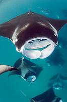 reef manta rays, Mobula alfredi, feeding on plankton; vestigial tooth band visible along lower jaw of manta at top, Hanifaru Bay, Hanifaru Lagoon, Baa Atoll, Maldives, Indian Ocean