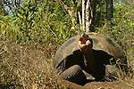 """With its 250 kilos and its expectation of life of more than 150 years, the giant turtle is the uncontested """"star"""" of the Galapagos<br /> Avec ses 250 kilos et son espérance de vie de plus de 150 ans, la tortue géante (Geochelone elephantophus) est la star  incontestée des Galapagos, le symbole mythique de cet archipel surgi du Pacifique il y a seulement cinq millions d'annees."""