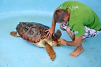 loggerhead sea turtle, Caretta caretta, gets a routine clean-up from staff at Projeto Tamar to avoid build-up of algae , Florianopolis, Santa Catarina, Brazil