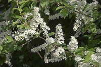 Gewöhnliche Traubenkirsche, Trauben-Kirsche, Prunus padus, European Bird Cherry, Merisier à grappes