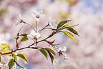 Yoshino Cherry tree at the Arnold Arboretum in the Jamaica Plain neighborhood, Boston, Massachusetts, USA