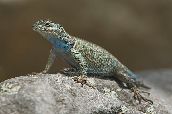 Mountain Spiny Lizard, Sceloporus jarrovii, adult, Madera Canyon, Arizona, USA, May 2005