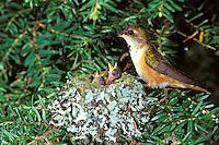 B4464  Rufous Hummingbird nest, Pacific Northwest, May.
