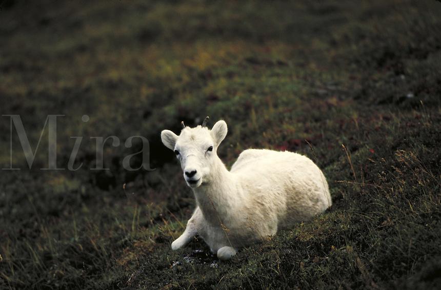 Dall sheep lamb lying down. Alaska USA Denali National Park.