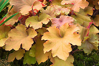 Heuchera Caramel in April