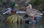 A pair of mallards along Taylor Creek, near South Lake Tahoe, Ca., on Monday, Oct. 31, 2011. .Photo by Cathleen Allison
