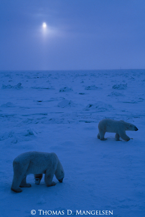 Two polar bears walk on the snow in the moonlight.