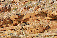 California Condors (Gymnogyps californianus) flying along canyon walls Marble Canyon (Colorado River), Grand Canyon National Park, Arizona. Upper bird is a juvenile--head does not start to turn reddish-pink until 3 to 4 years of age.
