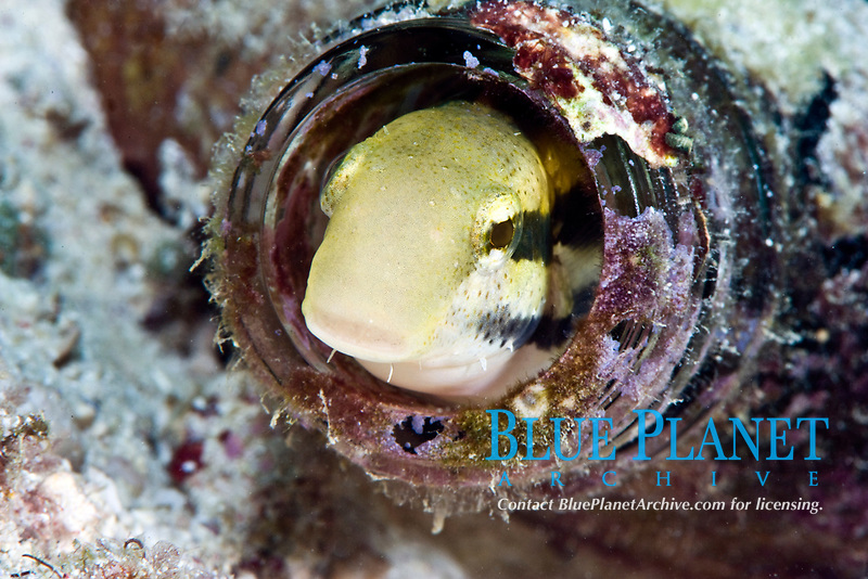 Shorthead fangblenny, petroscirtes breviceps, inside a coral encrusted bottle