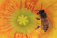 A bee on a poppy flower get some pollen.