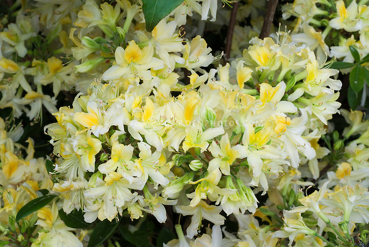 Rhododendron Northern Hi-Lights (kosteranum x prinophyllum) Deciduous Azalea in fragrant yellow spring bloom, very hardy to zone 4