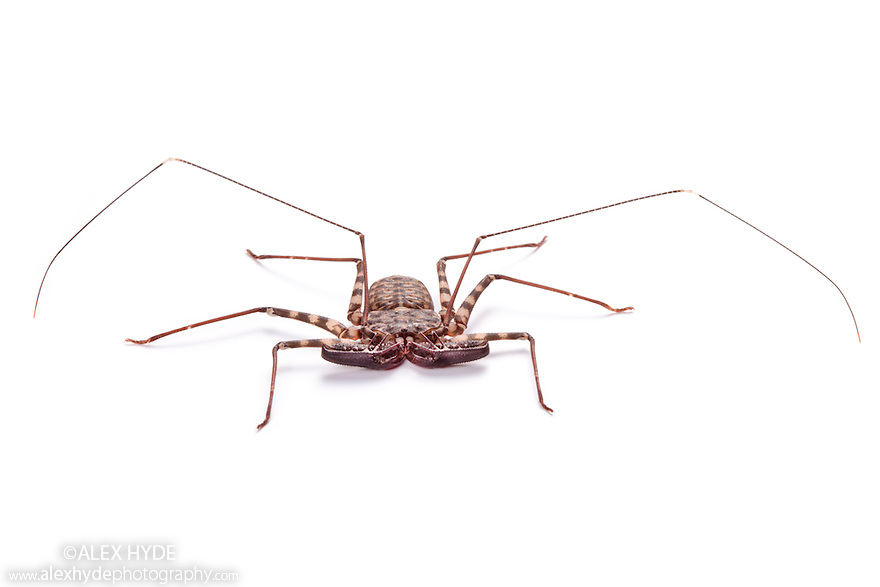Tanzanian Giant Tailless Whipscorpion <br /> {Damon variegatus} photographed on a white background. The highly flexible pair of whip-like legs are used to feel for prey and to detect the whipscorpion's surroundings . Captive, originating from Kenya and Tanzania. website