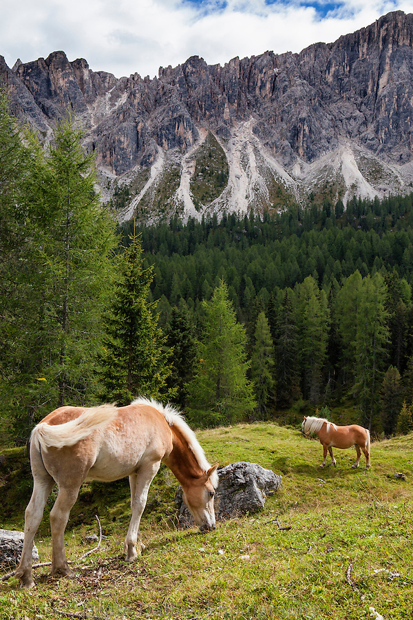 Haflinger horses in a meadow, Dolomites, Italy
