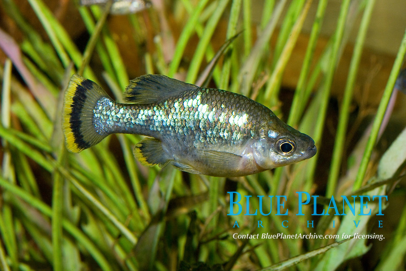 Desert Pupfish (Cyprinodon macularius) (c) (do) A small colorful fish that lives in desert springs with water tempertures often over 100 degrees.